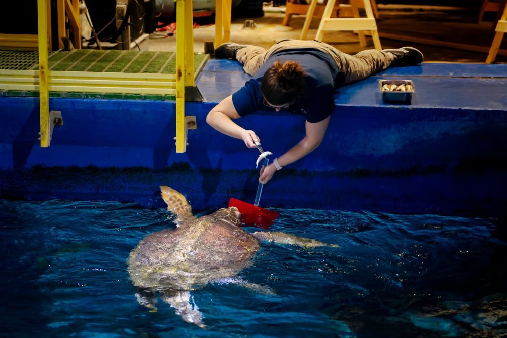 Sea turtle named Seaweed gets MRI